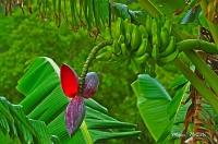 Banana Bloom - Watercolor