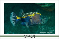 Spotted Boxfish - Watercolor