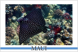 Spotted Eagle Ray - Watercolor