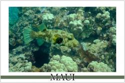 Stripebelly Pufferfish - Watercolor